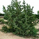 10+ Pinus Aristata ( Bristlecone Pine ) seeds