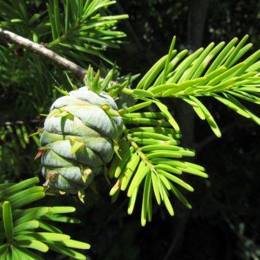 5 Pseudotsuga Sinensis ( Chinese Douglas Fir ) seeds