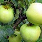 10+ Malus Domestica Antonowka ( Antonovka Apple ) seeds