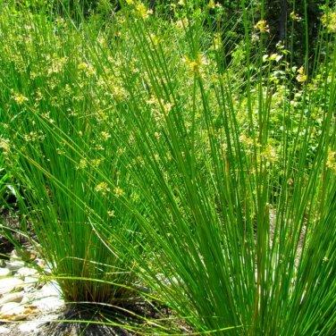 1000+ Juncus Effusus ( Soft Rush ) seeds. FREE S&H