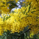 5+ Acacia Arabica ( Gum Arabic Tree, ) seeds