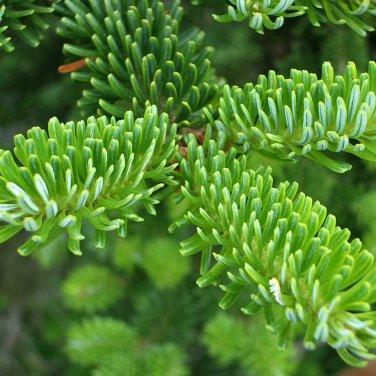 25+ Abies Fraseri ( Fraser Fir ) seeds