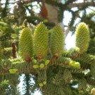 10+ Abies Magnifica Shastensis ( Californian Red Fir ) seeds