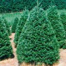 25+ Abies Grandis ( Grand Fir ) seeds