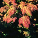 10+ Acer Circinatum ( Oregon Vine Maple ) seeds