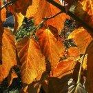 20+ Acer Davidii ( David's Maple ) seeds