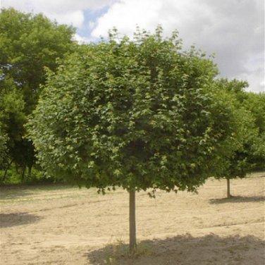 20+ Acer Campestre ( Hedge Maple ) seeds