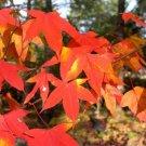 15+ Acer Oliverianum / Serrulatum ( Oliver Maple ) seeds