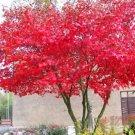 5+ Acer Palmatum ( Japanese Maple ) seeds
