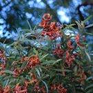 10+ Acacia Melanoxylon ( Blackwood Acacia ) seeds