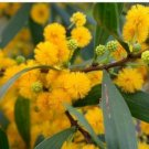 30+ Acacia Confusa ( Phillippine Acacia ) seeds