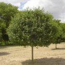 10+ Acer Campestre ( Hedge Maple ) seeds