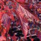 30+ Acer Ginnala Flame ( Flame Amur Maple ) seeds