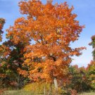 25+ Acer Spicatum ( Mountain Maple ) seeds