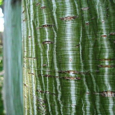 15+ Acer Tegmentosum ( Manchurian Striped Maple ) seeds