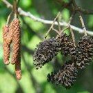 50+ Alnus Glutinosa ( Black Alder ) seeds