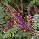 50+ Amorpha Fruticosa ( Indigo Bush ) seeds