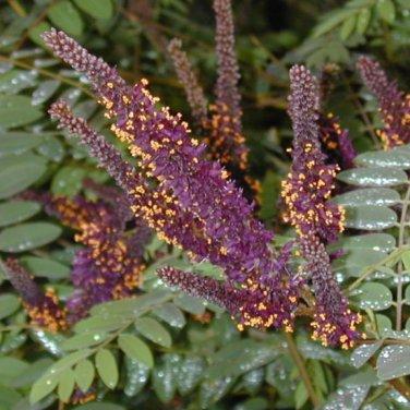 50+ Amorpha Fruticosa ( Indigo Bush ) seeds