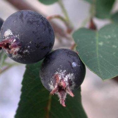20+ Amelanchier Ovalis ( Snowy Mespilus ) seeds