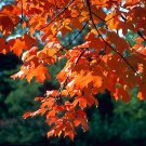 20+ Acer Saccharum ( Sugar Maple Southern ) seeds