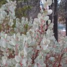 10+ Arctostaphylos Viscida ( Whiteleaf Manzanita ) seeds