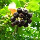 20+ Aronia Melanocarpa ( Black Chokeberry ) seeds