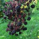 50+ Aralia Chinensis ( Chinese Angelica tree ) seeds