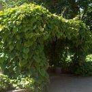 10+ Aristolochia Durior ( Dutchman's Pipe ) seeds