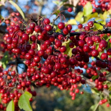 15+ Aronia Arbutifolia Brilliantissima ( Red Chokeberry Brilliant ) seeds