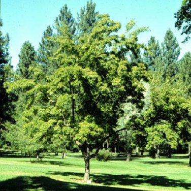 30+ Acer Tataricum ( Tatarian Maple ) seeds