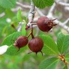 20+ Amelanchier Utahensis ( Utah Serviceberry ) seeds