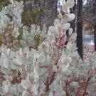 20+ Arctostaphylos Viscida ( Whiteleaf Manzanita ) seeds