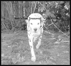 *Charlie Bum On The Prowl*  8X10 Black & White Photo