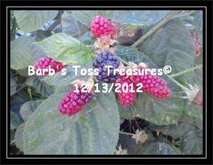 *Early Raspberries*  8X10 Color Photo