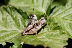 GRASSHOPPERS SWEETIE