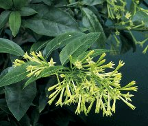 tropical night bloom jasmine plant  Cestrum nocturnum fragrant