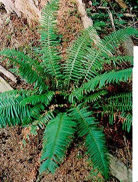Boston Fern Live Florida Native plant multiplies quickly