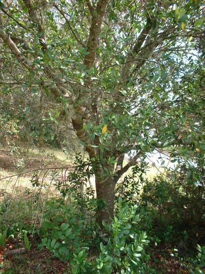 4 Cherry Laurel Trees 4 bonsai/shade