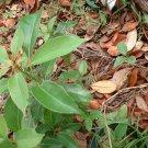 4 Camphor trees 4 Bonsai plant seedling FREE SHIPPING