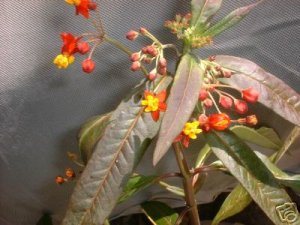 Butterfly food lg live plant Milkweed FREE SHIPPING
