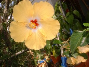 Lg Hibiscus  tropical plant flower Yellow saucer size