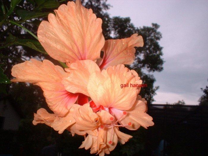 Lg Hibiscus plant PEACH POM FLOWERs tropical beauty