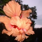 Lg Hibiscus plant PEACH POM FLOWERs tropical beauty