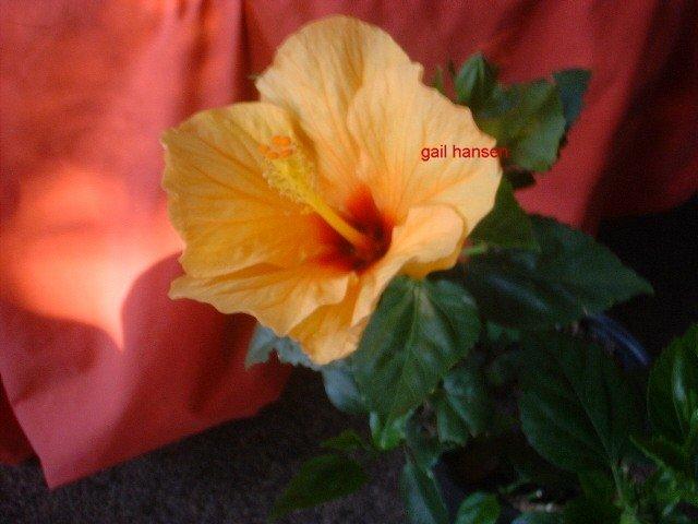Orange Lg Hibiscus plant tropical flowers