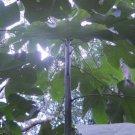 fresh green Papaya leaves organic dungay fever blood cancer