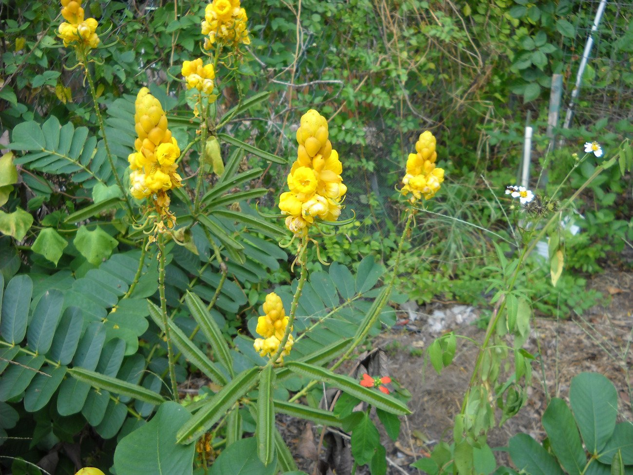 Tropical yellow flower bush plant 100 seeds candlestick cassia candle stick tropical yellow flower bush plant 100 seeds candlestick cassia candle stick mightylinksfo