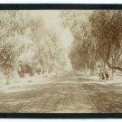 Eucalyptus and Pepper Trees, Magnolia Ave