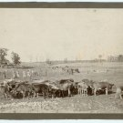 Cattle on a Farm Photograph