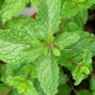 Spearmint Tea--4 Ounces