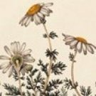 Chamomile Flowers--4 Ounces